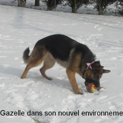 Gazelle12