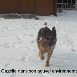 Gazelle13