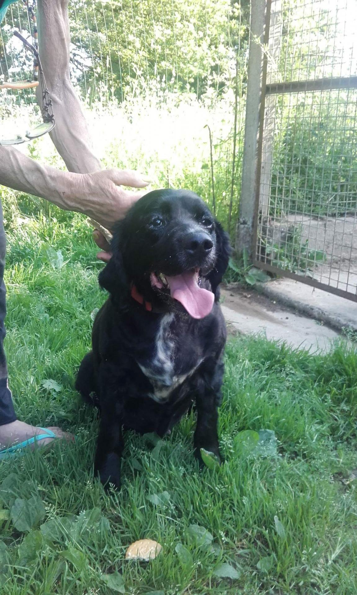 TANIA - x setter/springer 11 ans - ADAA à La Chapelle d'Andaine (61) Received-440613952982978