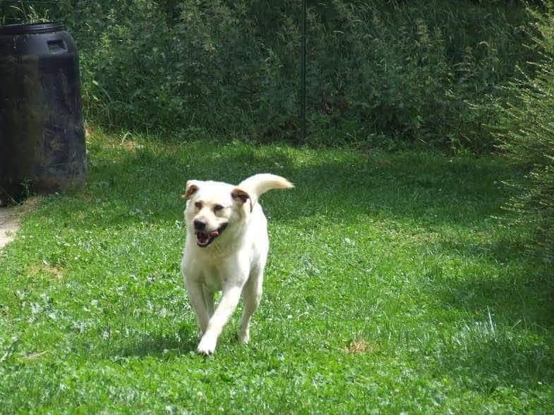 YOUKI - labrador beige 10 ans  (4 ans de refuge)- ADAA à La Chapelle d'Andaine (61) Youki1